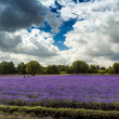 Lavender field in Banstead Surrey — Stock Photo #38262753