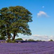 Lavender field in Banstead Surrey — Stock Photo #38262811