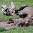 Постер, плакат: Young Rhino rolling in the mud