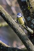 Sýkora modřinka sedící na stromě — Stock fotografie