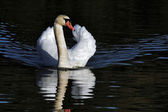 Mute Swan (cygnus olor) at Warnham Nature Reserve near Horsham W — Stock Photo