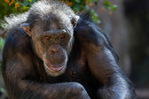 Chimpanzee sitting in a zoo — Стоковое фото