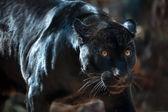 Black Jaguar — Stock Photo