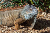 Iguana at Loro Parque Zoo — Stock Photo