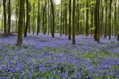 Bluebells in Wepham Woods — Stock Photo