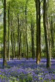 Bluebells in Wepham Woods — Stock Photo