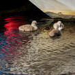 Stock Photo: Mute Swcygnets (cygnus olor)