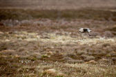 Eurasian Curlew (numenius arquata) — Stock Photo