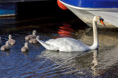 Mute Swan (cygnus olor) with cygnets — Stock Photo