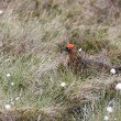 Stock Photo: Male Red Grouse (lagopus lagopus)
