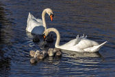 Mute Swans (cygnus olor) with cygnets — Stock Photo