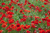 Field of Poppies in Sussex — Stock Photo