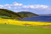 Rape seed field near Munlochy Bay — Stock Photo