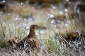 Female Red Grouse (lagopus lagopus scotica) — Stock Photo