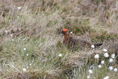 Male Red Grouse (lagopus lagopus) — Stock Photo