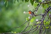 Robin (erithacus rubecula) — Stock Photo