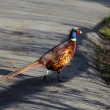 Stock Photo: Common Pheasant (Phasianus colchicus)