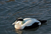 European Eider Duck somateria mollissima mollissima — Stock Photo