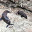 New Zealand fur seal (Arctocephalus forsteri) and pup — Stock Photo #39029243