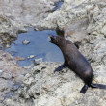 New Zealand fur seal (Arctocephalus forsteri — Stock Photo