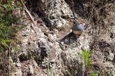 California Quail (callipepla californica) — Stock Photo