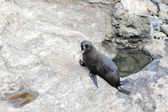 New Zealand fur seal (Arctocephalus forsteri) — Stock Photo