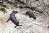 New Zealand fur seal (Arctocephalus forsteri) and pup — Stock Photo