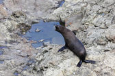 New Zealand fur seal (Arctocephalus forsteri — Stock Photo