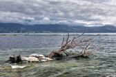Dead tree in the water at Kiakoura Bay — Stock Photo