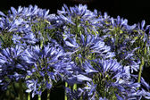 Vivid Blue Agapanthus (africanus) — Stock Photo