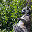 Stock Photo: Ring-Tailed Lemur (Lemur catta)