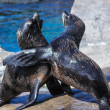 South American Fur Seals (Arctocephalus australis) — Stock Photo #39071013
