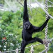 Photo: Agile Gibbon (hylobates agilis)