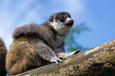 Young Ring-Tailed Lemur (Lemur catta) — Stock Photo