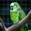 Stock Photo: Orange-winged Amazon (amazon amazonica)