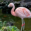 Stock Photo: ChileFlamingo (Phoenicopterus chilensis)
