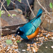 Superb Spreo Starling (Lamprotornis superbus) — Stock Photo