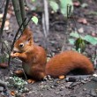 Eurasired squirrel (Sciurus vulgaris) — Stock Photo #39136677