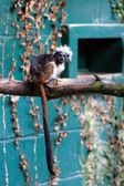 Cotton-top tamarin (Saguinus oedipus) — Stock Photo