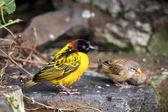 Black-headed Weaver (Ploceus cucullatus) — Stock Photo