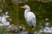 Cattle Egret (Bubulcus ibis) — Stock Photo