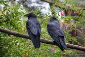 Common Raven (Corvus corax) — Stock Photo