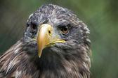 White-tailed Sea Eagle (Haliaeetus albicilla) — Stock Photo