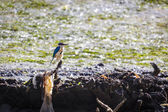 Sacred Kingfisher (Todiramphus sanctus) — Stock Photo
