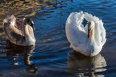 Adult Mute Swan with cygnet on the river Great Ouse at Ely — Stock Photo