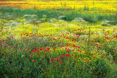 A field of spring flowers in Castiglione del Lago — Stock Photo
