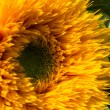 Stock Photo: Cultivated Hybird Sunflower