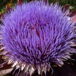 Globe Artichoke Flower (Cynara Scolymus) — Stock Photo
