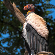 Stock Photo: King Vulture (Sarcoramphus papa)
