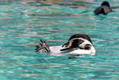 Humboldt Penguin (Spheniscus humboldti) — Stock Photo
